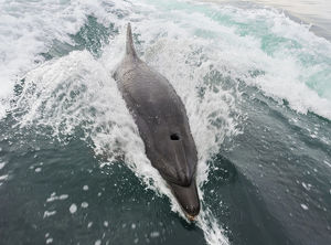 Common bottlenose dolphin -Tursiops truncatus- in Walvis Bay, Namibia