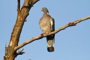 Common Wood Pigeon -Columba palumbus- perched on a branch, Baltic Sea island of Fehmarn