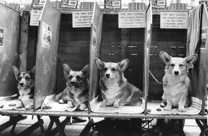 Corgis In Dog Show