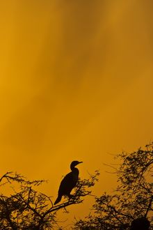 Cormorant roosting on its favorite perch with clouds covering the setting sun