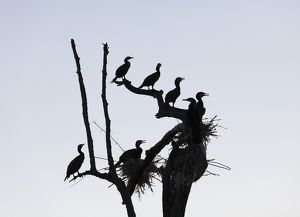 Cormorants -Phalacrocorax carbo- and nests on dead branch, Rajiv Gandhi National Park