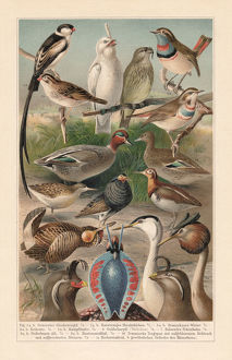 Courtship plumage of birds (sexual dimorphism), Chromolithograph, published in 1897