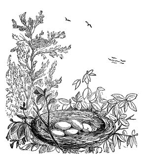 Crows, ravens, rooks or jackdaws nest with eggs