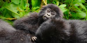 A curious young mountain gorilla (Gorilla beringei beringei) checking out the tourists