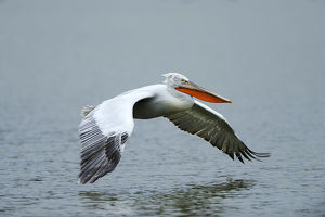 Dalmatian Pelican -Pelecanus crispus-, approaching to land on Lake Kerkini, Greece, Europe