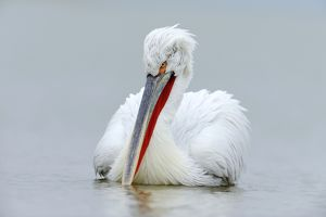 Dalmatian Pelican -Pelecanus crispus-, Lake Kerkini, Greece, Europe