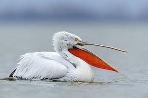 Dalmatian Pelican -Pelecanus crispus- with an open beak, on Lake Kerkini, Greece, Europe