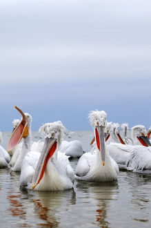 Dalmatian Pelicans -Pelecanus crispus-, on the shore of Lake Kerkini, Greece, Europe