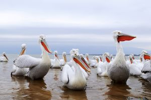 Dalmatian Pelicans -Pelecanus crispus-, Lake Kerkini, Greece, Europe