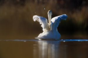 Trumpeter swan (Cygnus buccinator) flapping wings in lake, Alaska, USA