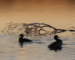 Ducks and frozen branch at sunset