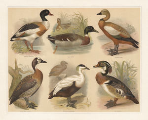 Ducks, lithograph, published in 1897