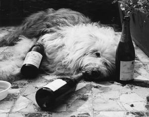 Dulux Dog Drunk