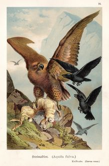 Eagle with hare illustration 1888