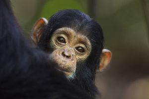 Eastern chimpanzee female baby 'Tarime' aged 7 months peering from behind