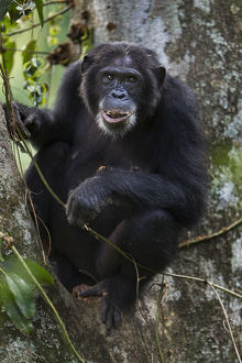 Eastern chimpanzee female 'Dilly' aged 27 years feeding on figs