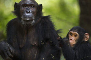 Eastern chimpanzee female 'Gaia' aged 20 years with her son 'Google&#39