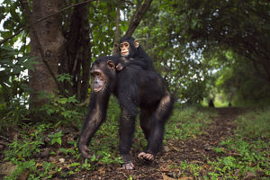 Eastern chimpanzee female 'Golden' aged 15 years carrying her infant daughter