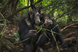 Eastern chimpanzee female 'Golden' aged 15 years feeding on vines while her