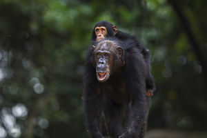 Eastern chimpanzee female 'Gremlin' aged 42 years carrying her infant son