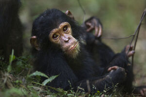 Eastern chimpanzee infant female 'Glamour' aged 21 months resting on the