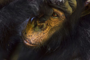 Eastern chimpanzee juvenile male 'Gimli' aged 9 years being groomed - portrait