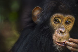 Eastern chimpanzee juvenile male 'Gizmo' aged 3 years and 9 months portrait