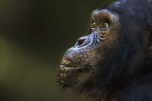Eastern chimpanzee juvenile male 'Tom' aged 12 years portrait