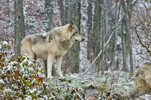 Eastern Gray Wolf In Winter
