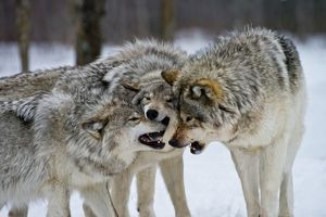 Eastern gray wolves