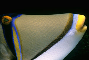 Picasso Triggerfish, Rhinecanthus assasi, close-up