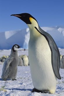 Emperor penguin -Aptenodytes forsteri- with chick on ice shelf, Weddell Sea, Antarctica