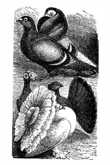 English Carrier and English Fantail pigeon