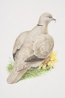 Eurasian Collared Dove (Streptopelia decaocto), illustration of pigeon like bird