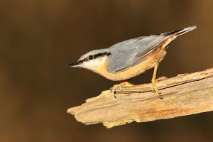 wilfried martin nature photography/eurasian nuthatch sitta europaea hesse germany