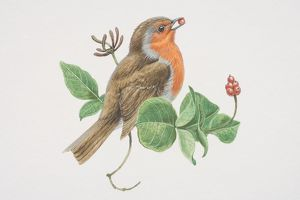 European Robin (Erithacus rubecula), illustration of bird with bright red breast