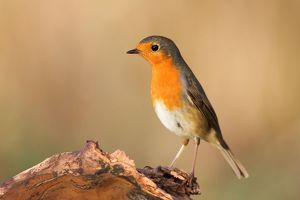 wilfried martin nature photography/european robin erithacus rubecula dead wood