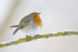 European Robin -Erithacus rubecula- on a wintry branch, North Hesse, Hesse, Germany