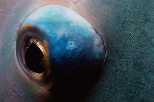 Eye of Bluebarred Parrotfish