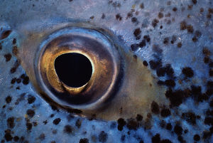 Eye of Bluefin Trevally Fish