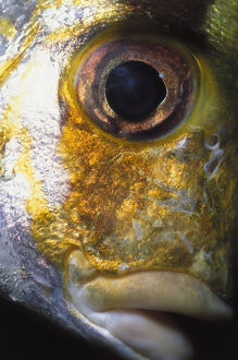 Eye of Porkfish