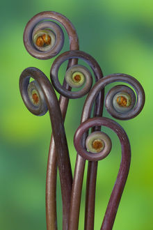 False staghorn (Dicranopteris linearis) fiddleheads, close-up