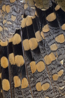 Feather Design Greater Painted Snipe