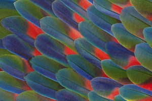 Tail Feather Design of Blue Headed Parrot