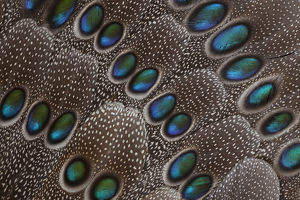 Grey's Peacock tail feather design