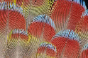 Hawk headed Parrot feather pattern