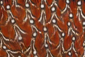 Tragopan Temminck's Feather design