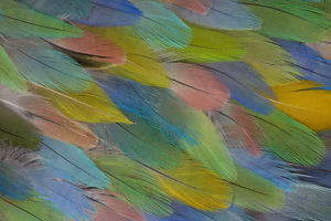 English Budgie & Bourke Parakeet feathers