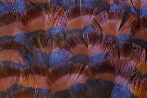 Crestless Fireback Pheasant feather design