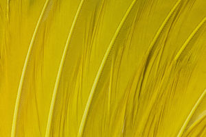 Regents Bower Bird feathers in yellow